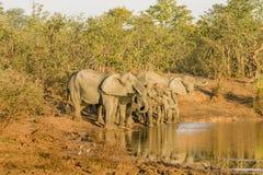 Elefante africano del arbusto que bebe en el riverbank, parque del kruger fotografía de archivo libre de regalías