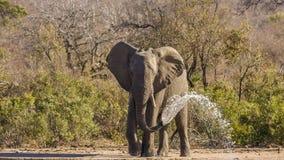 Elefante africano del arbusto que bebe en el riverbank, parque del kruger imagen de archivo