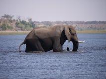Elefante africano del arbusto que cruza el río de Chobe Foto de archivo