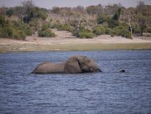 Elefante africano del arbusto que cruza el río de Chobe Fotografía de archivo
