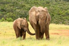 Elefante africano del bambino e della madre Immagini Stock Libere da Diritti