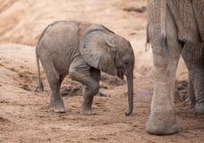 Elefante africano del bambino stanco ed assetato ad un waterhole asciutto fotografia stock