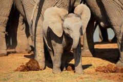 Elefante africano del bebé fotografía de archivo