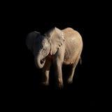 Elefante africano del bebé Fotos de archivo