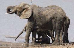 Elefante africano del bebé abajo debajo de donde hay sombra Imagen de archivo