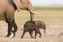 Elefante africano del bebé con la madre en Amboseli, Kenia Fotografía de archivo libre de regalías