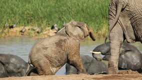 Elefante africano del bebé juguetón Fotografía de archivo libre de regalías