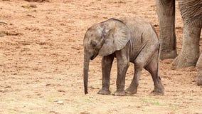 Elefante africano del bebé minúsculo almacen de metraje de vídeo