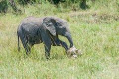 Elefante africano del bebé que paga respectos al Scull del elefante Imagenes de archivo