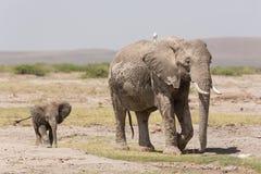 Elefante africano del bebé que sigue a su madre en Amboseli, Kenia Foto de archivo libre de regalías