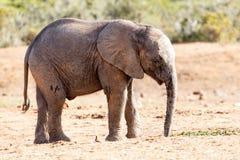 Elefante africano del Bush Fotografia Stock