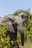 Elefante africano del cespuglio nel cespuglio Fotografie Stock