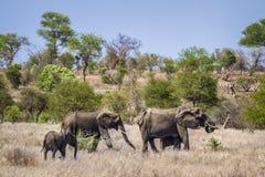 Elefante africano del cespuglio nel parco nazionale di Kruger, Sudafrica Fotografia Stock
