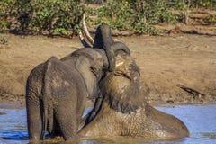Elefante africano del cespuglio nel parco nazionale di Kruger, Sudafrica Immagine Stock