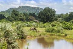 Elefante africano del cespuglio nel suo habitat nel parco nazionale di Kruger immagine stock