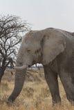 Elefante africano del toro nel parco nazionale di Etosha, Namibia Fotografie Stock Libere da Diritti