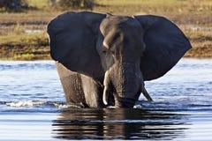 Elefante africano - delta di Okavango - il Botswana Immagini Stock
