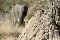 Elefante africano detrás de un montón de la termita en safari en África imágenes de archivo libres de regalías