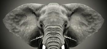 Elefante africano dirigido grande imágenes de archivo libres de regalías