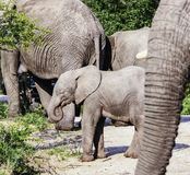 Elefante africano do arbusto do bebê no parque nacional de Kruger foto de stock royalty free