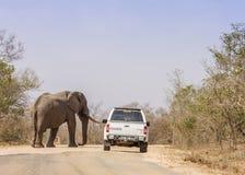 Elefante africano do arbusto que anda na estrada, no parque de Kruger, África do Sul Imagens de Stock Royalty Free