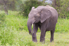 Elefante africano do bebê no Serengeti Fotos de Stock