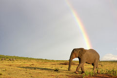 Elefante africano e arco-íris em África do Sul Imagens de Stock