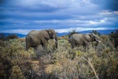 Elefante africano em África do Sul fotografia de stock