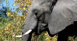 Elefante africano em Chobe, animais selvagens do safari de Botswana vídeos de arquivo