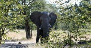 Elefante africano em Moremi, animais selvagens do safari de Botswana video estoque