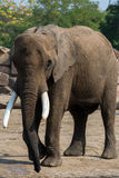 Elefante africano em Tierpark Berlim Foto de Stock Royalty Free