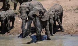 Elefante africano em um furo molhando Imagem de Stock Royalty Free