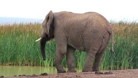 Elefante africano em um Waterhole video estoque