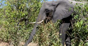 Elefante africano en Chobe, fauna del safari de Botswana almacen de metraje de vídeo