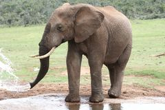 Elefante africano en el agua imagenes de archivo