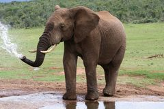 Elefante africano en el agua fotografía de archivo libre de regalías