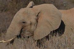 Elefante africano en el cepillo Fotos de archivo