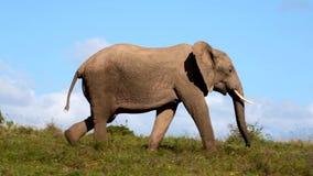 Elefante africano en el movimiento almacen de metraje de vídeo