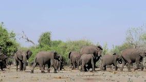 Elefante africano en el parque nacional de Chobe almacen de video