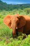 Elefante africano en el salvaje Foto de archivo libre de regalías