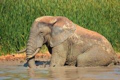 Elefante africano en fango Imágenes de archivo libres de regalías
