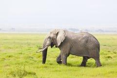 Elefante africano en Kenia Fotografía de archivo