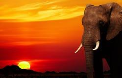 Elefante africano en la puesta del sol Imagen de archivo libre de regalías