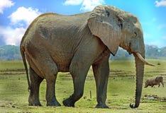 Elefante africano en los llanos africanos abiertos con un facoquero en el fondo, parque nacional del lunagwa del sur, Zambia Imagen de archivo