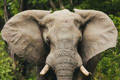 Elefante africano en Moremi, fauna del safari de Botswana imagenes de archivo