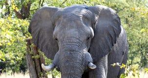 Elefante africano en Moremi, fauna del safari de Botswana metrajes