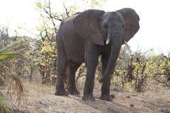 Elefante africano en parque nacional del kruger foto de archivo