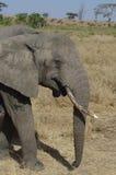 Elefante africano en primer Fotografía de archivo libre de regalías