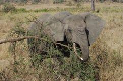 Elefante africano en primer Imagen de archivo libre de regalías