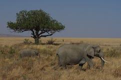 Elefante africano en primer Foto de archivo